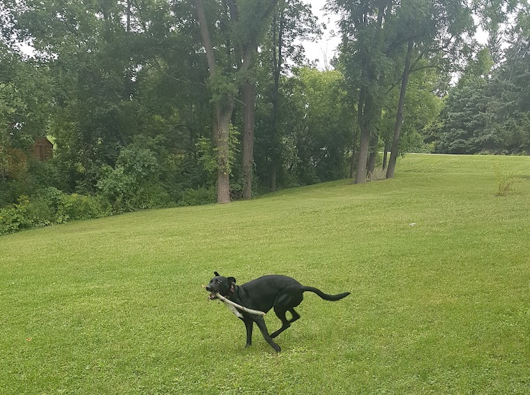black dog running with stick in grass