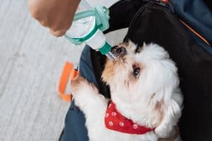 small white dog drinking water