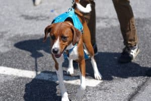 small brown spotted dog with blue harness