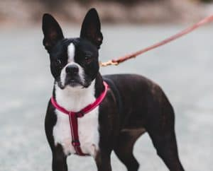 black and white french bulldog red harness