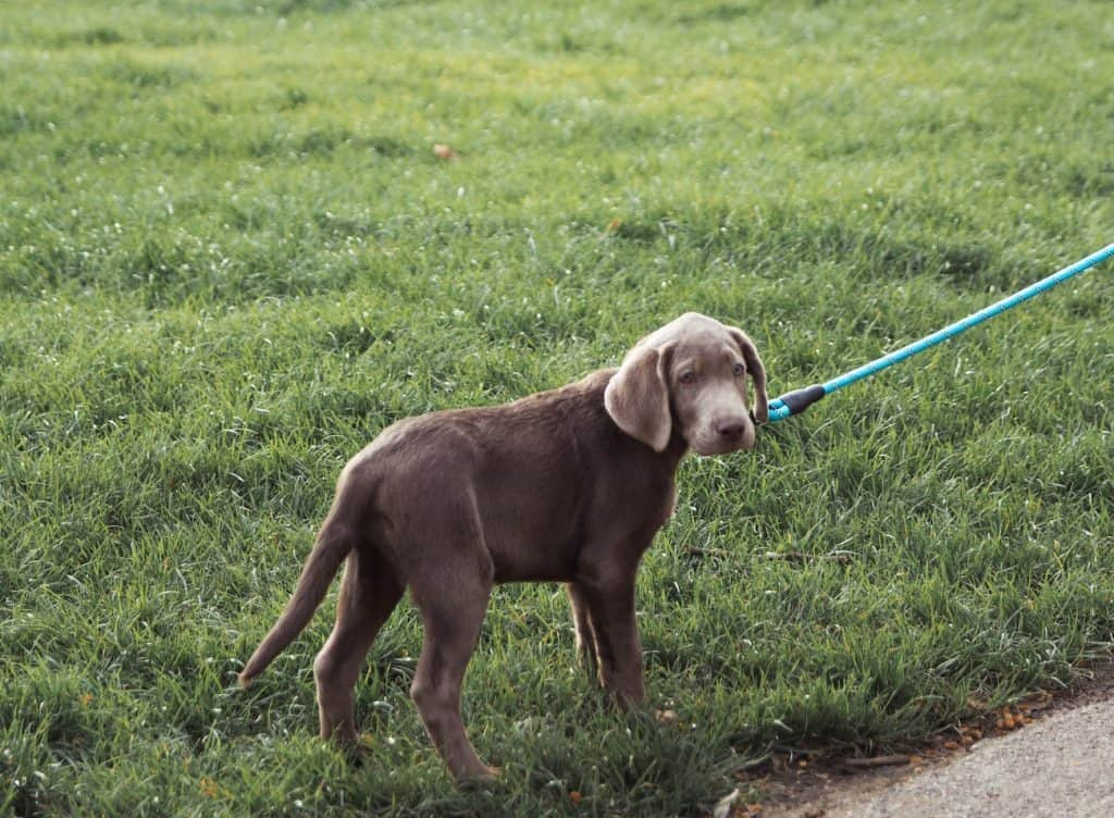puppy on grass with tie out