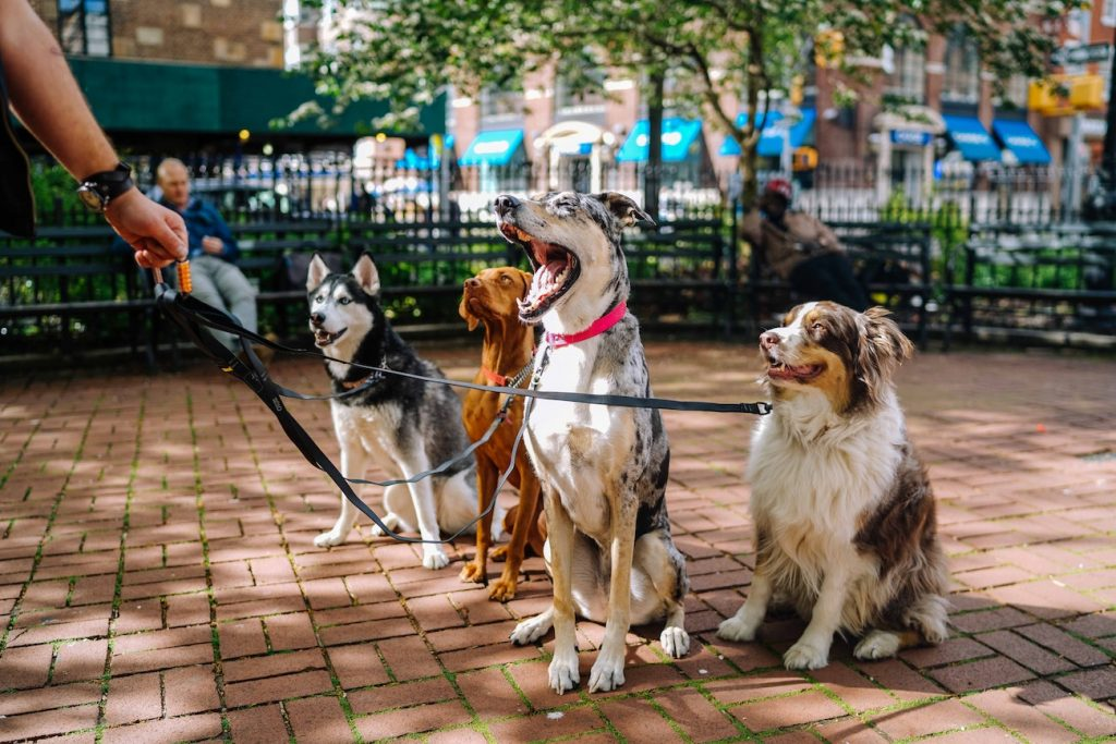dog walker with four dogs