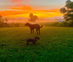 two dogs in grass at sunset