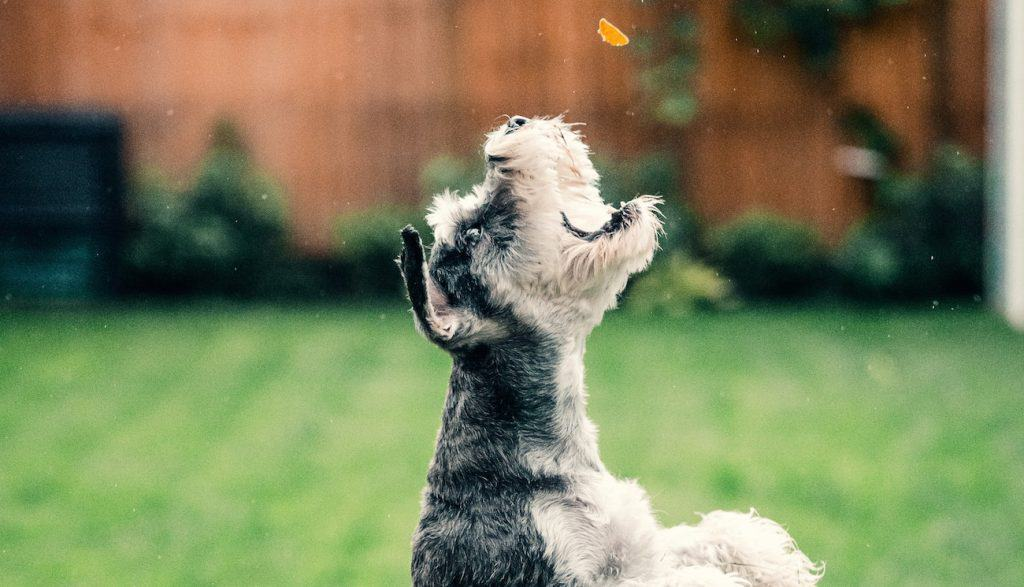 schnauzer jumps for treat in the backyard