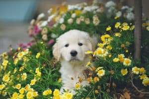 sweet golden retriever puppy in garden surrounded by flowers