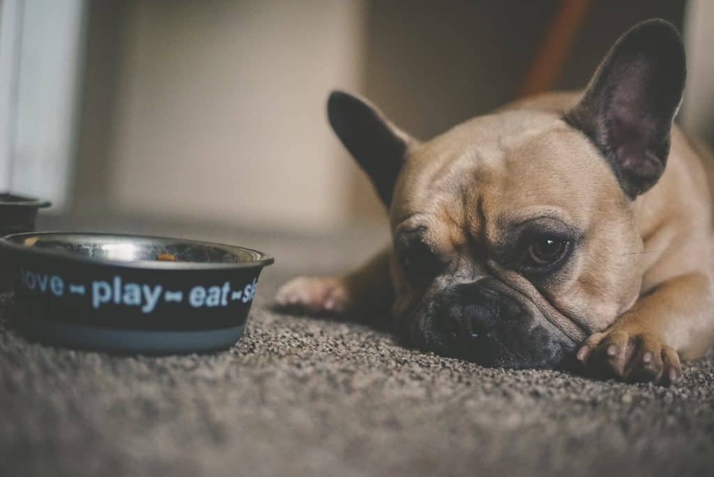 bulldog with water bowl beside him
