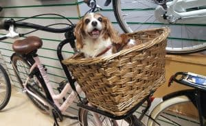 bike carrier for dogs - featured image - small dog in bike basket