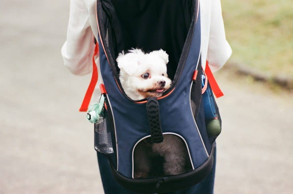 small white dog in dog backpack carrier