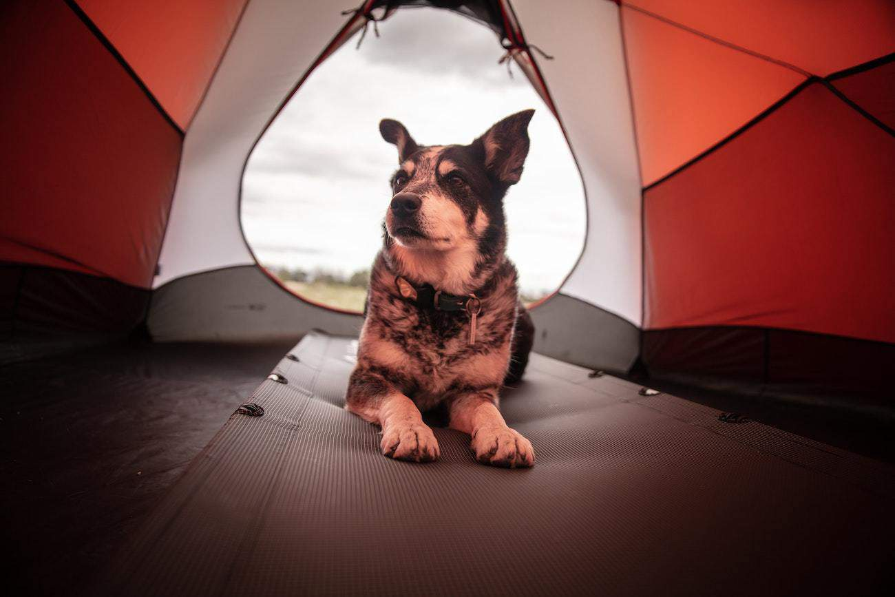 best dog tents for camping with dogs: featured image: brown dog in red tent