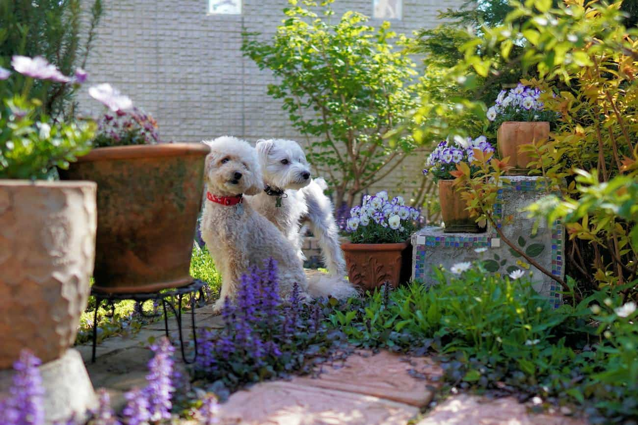 two white dogs in backyard