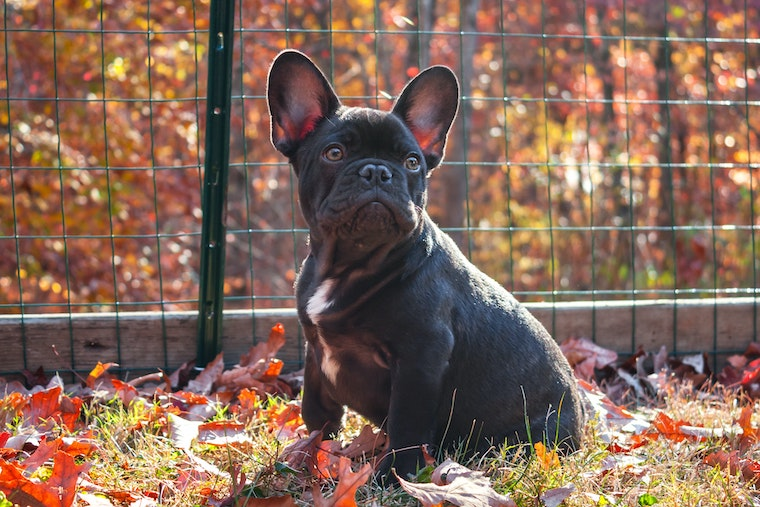 french bulldog in leaves