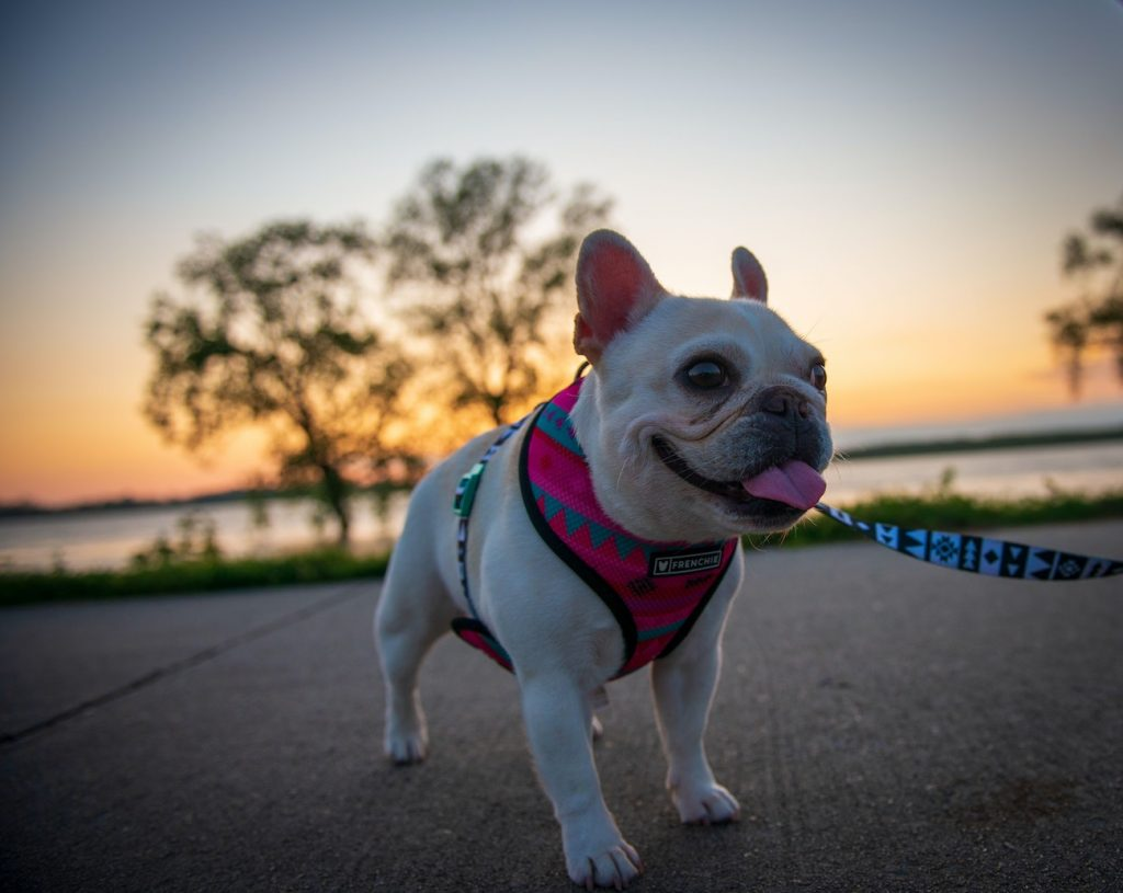 best dog food for bulldogs - featured image