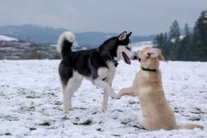 best dog food for husky: featured image: husky playing with golden lab in snow